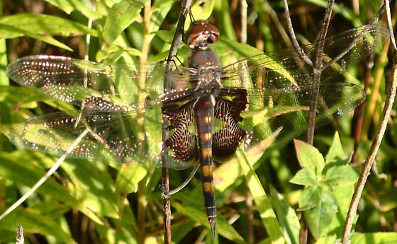 dragonfly is this a black mantled glider? - Tramea lacerata