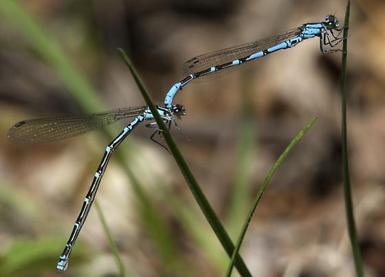 Subarctic bluet - Coenagrion interrogatum - male - female