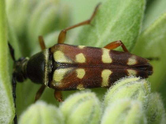 Longhorn in milkweed - Typocerus velutinus