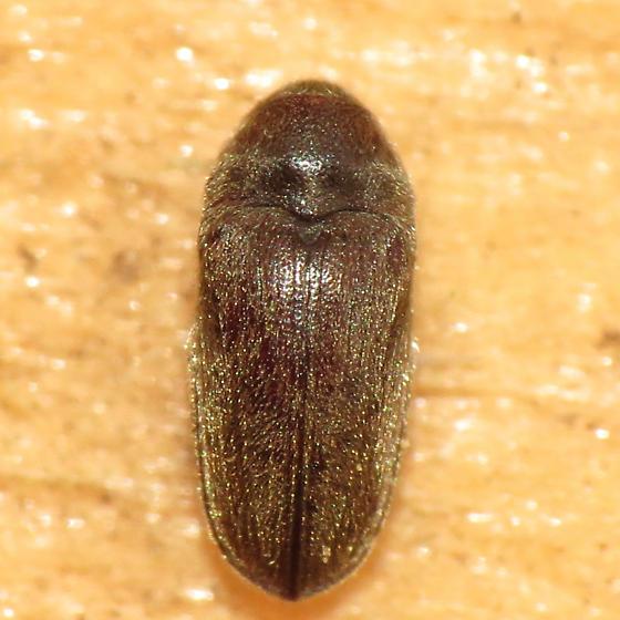 beetle - Aulonothroscus
