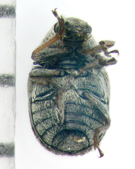 Anthribidae, ventral - Trigonorhinus limbatus