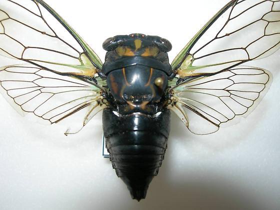 Tibicen lyricen f. lyricen - Neotibicen lyricen - male