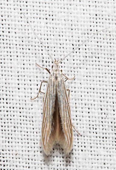 Coleophora cratipennella