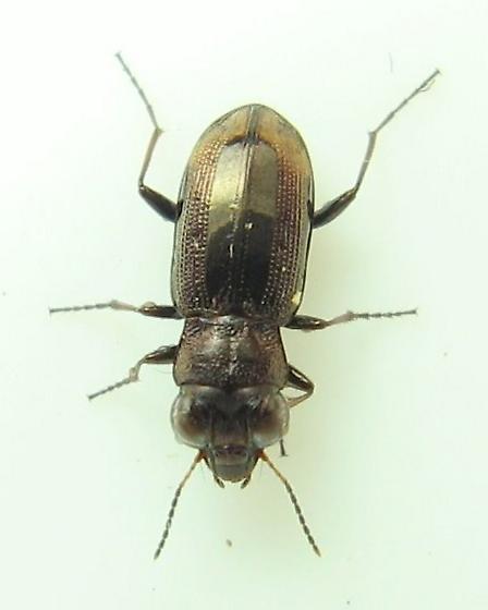 Notiophilus semistriatus - Notiophilus biguttatus