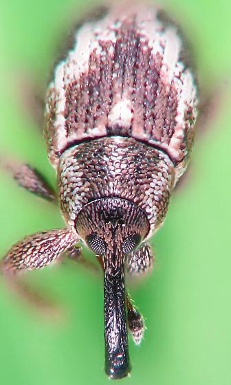 flood debris #4 - zebra weevil - Anthonomus elongatus