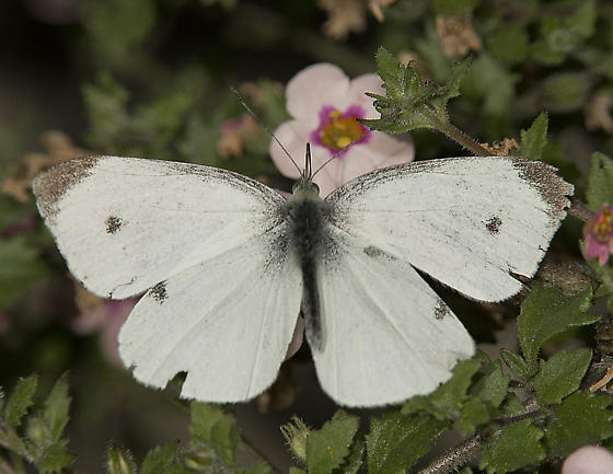 Pieris rapae - Cabbage White butterfly - Pieris rapae