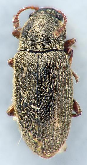 family? - Telmatophilus americanus