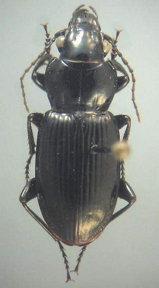 Lophoglossus scrutator (LeConte) - Lophoglossus scrutator - male