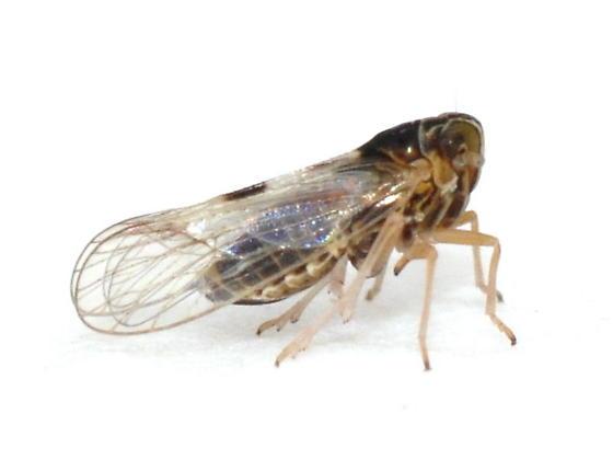 Delphacodes puella - Chionomus puellus