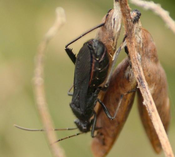 Ant, sawfly, something else? - Alydus eurinus