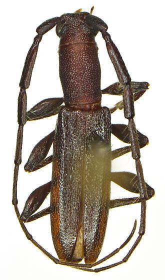 Neocompsa puncticollis orientalis Martins & Chemsak - Neocompsa puncticollis