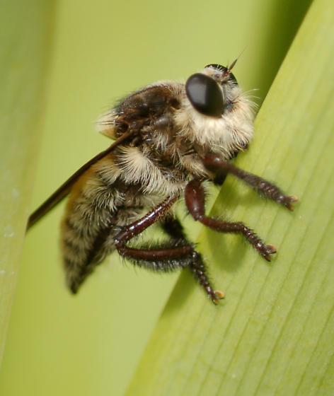 Large Bee - Mallophora fautrix