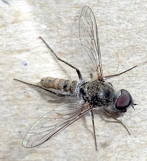 Arizona fly ? - Aphoebantus