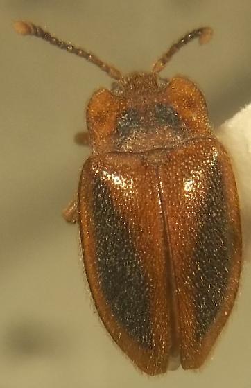 Endomychidae - Epipocus