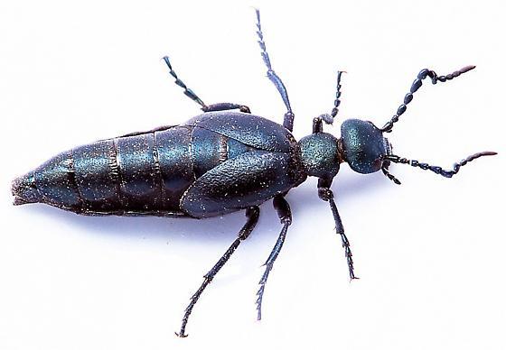 Oil Beetle - Meloe niger - male