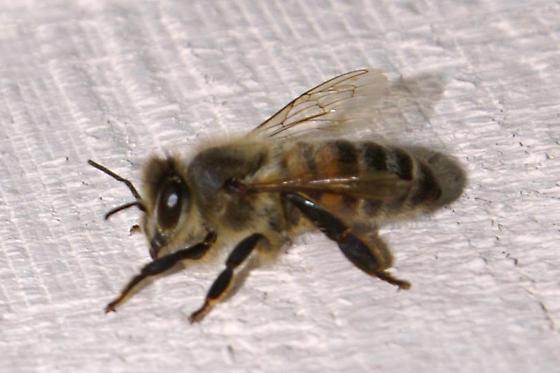 Honey Bee For Illinois In October - Apis mellifera