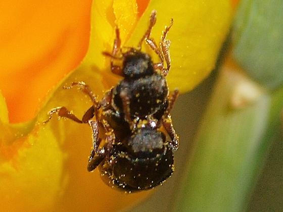 Short-winged Flower Beetles (Kateretidae) 1 - Amartus tinctus - male - female