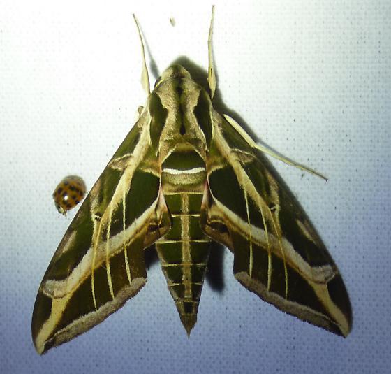 Eumorpha vitis - Vine Sphinx ? - Eumorpha vitis
