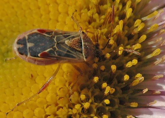 Hyaline Grass Bug - Liorhyssus hyalinus