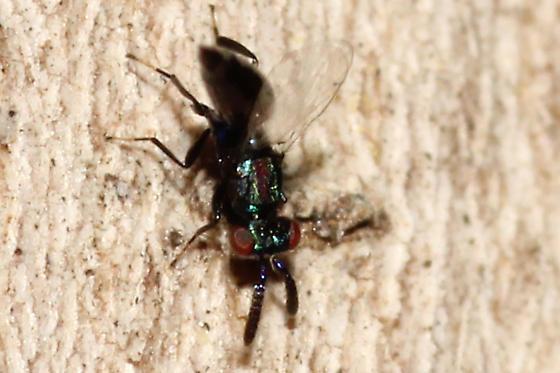 Pteromalid wasp?