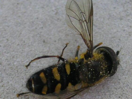 Melangyna sp.  (Syrphidae) in the Colorado Rockies - Melangyna