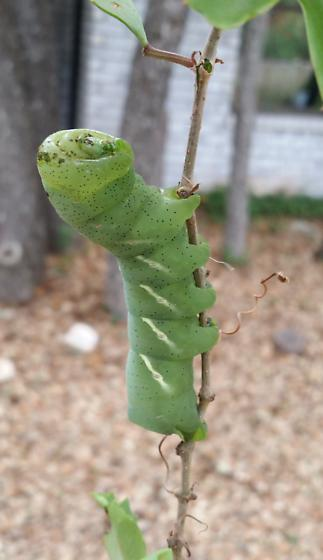 Sphinx caterpillar - Eumorpha vitis