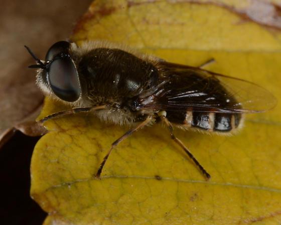Odontomyia pilosa - male