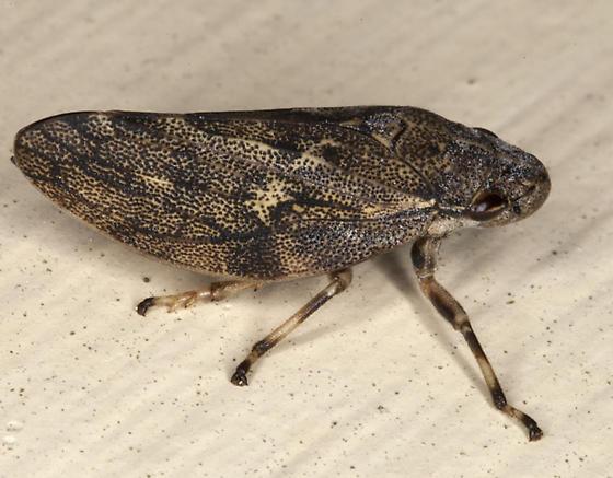 bug IMG_0340 - Aphrophora cribrata