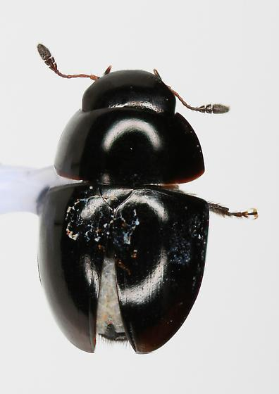 Sphaeridiinae? - Phalacrus