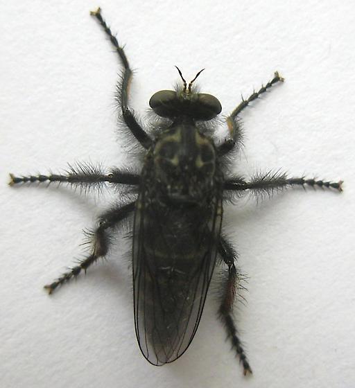 Robber Fly - Cyrtopogon montanus - female