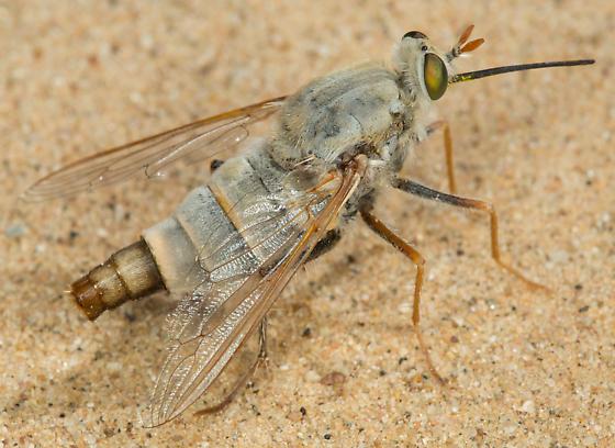 Rhaphiomidas parkeri - female