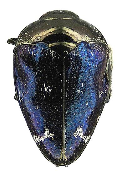 Pachyschelus purpureus (Say) - Pachyschelus purpureus - female