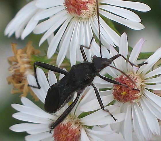 Leaf-footed Bug (?) on aster - Alydus eurinus