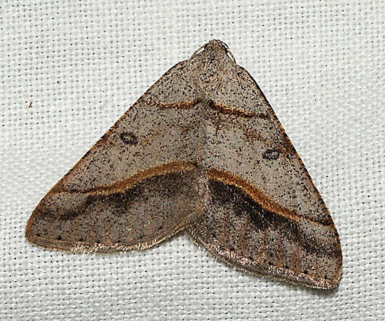 Digrammia attracted to lights - Digrammia neptaria