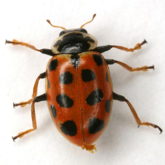 Hippodamia tredecimpunctata (Linnaeus) - Hippodamia tredecimpunctata