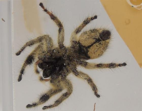 P. otiosus with carapace markings - Phidippus otiosus - female