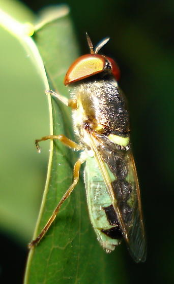 Green Beefly ? - Odontomyia cincta - male