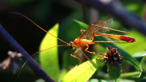 Enicospilus guatemalensis? - Enicospilus