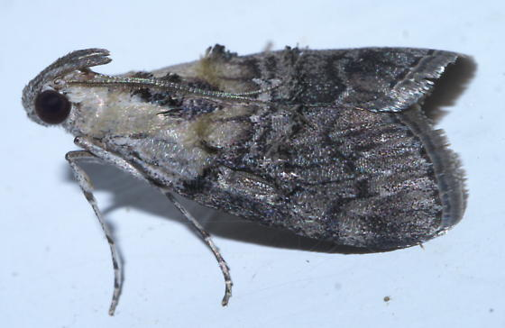 Gray and white moth - Pococera expandens