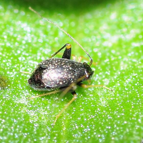 Small bug - Microtechnites bractatus - female