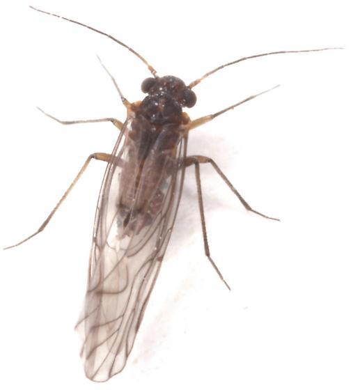 Psocid - Lachesilla nubilis