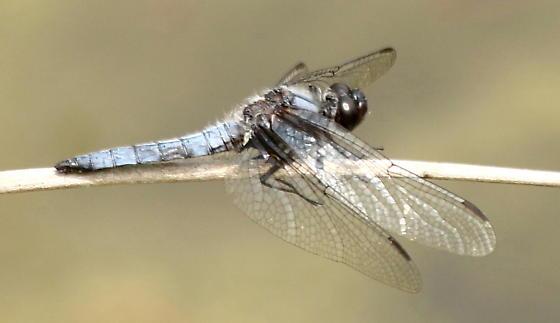 Blue corporal - Ladona deplanata - male