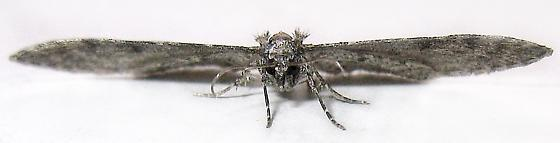 Pug Moth - Eupithecia