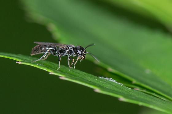 Aphid Wasp - Passaloecus
