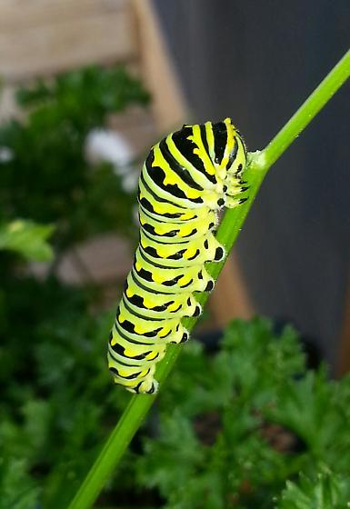 what  kind?- Papilio polyxenes - Papilio polyxenes