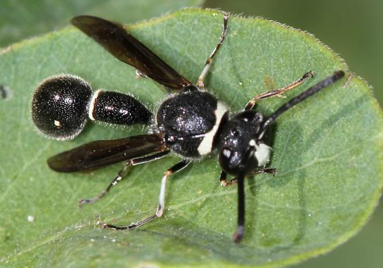 unknown wasp? - Eumenes fraternus