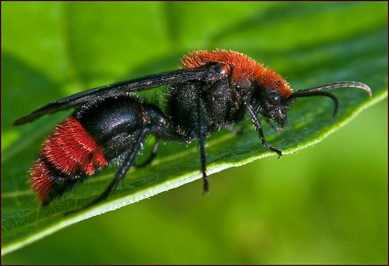 Cow Killer Velvet Ant - Dasymutilla occidentalis - male
