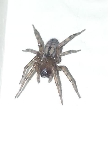 Spider found in house in Kodiak - Callobius pictus