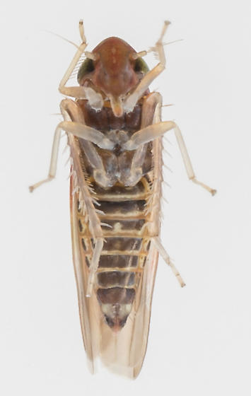 Leafhopper - Erythridula kanza - male