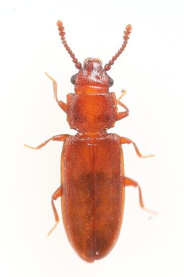 Beetle - Pediacus stephani